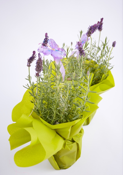 Lavendel'Hidcote-Blue'