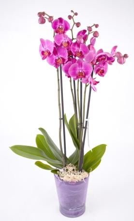 Phalaenopsis-lila