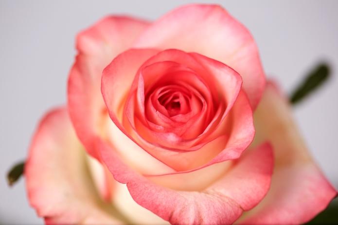 Rose-mit-rand