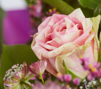 Rose-zweifaerbig