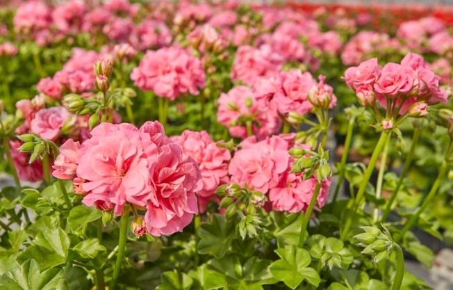 Pelargonien-halbhaenger-rosa